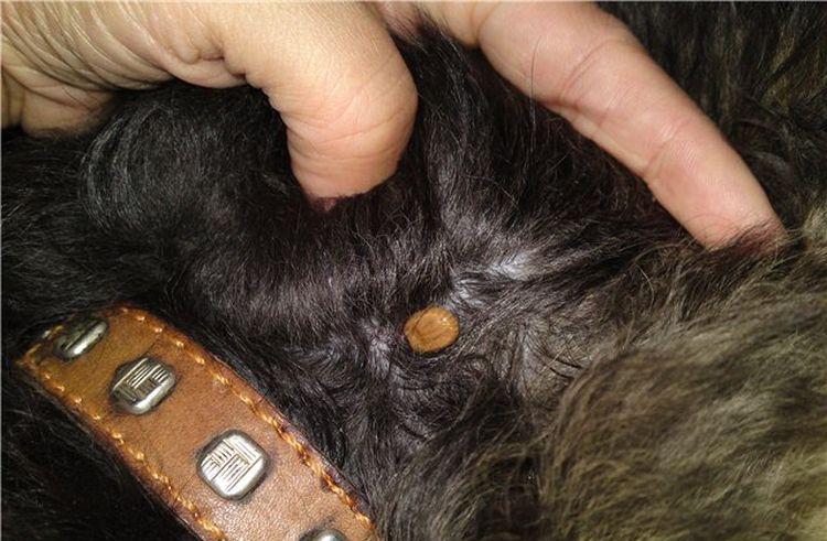 Энцефалит у собак: болеют ли, симптомы энцефалитного клеща, лечение