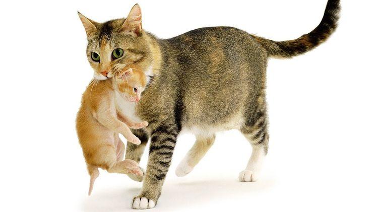 Кошка несет котенка