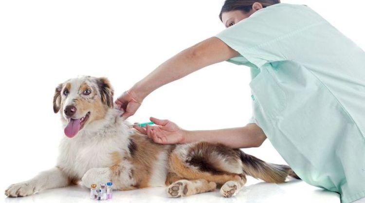 Вакцинация собаки