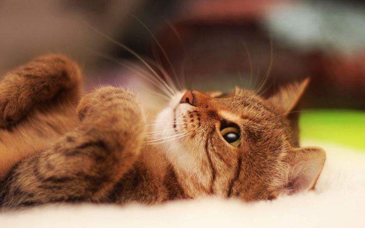Кот лежит на спине