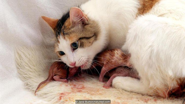 Кошка обрабатывает новорожденных котят