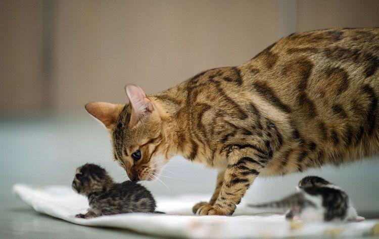 Кошка вылизывает котенка