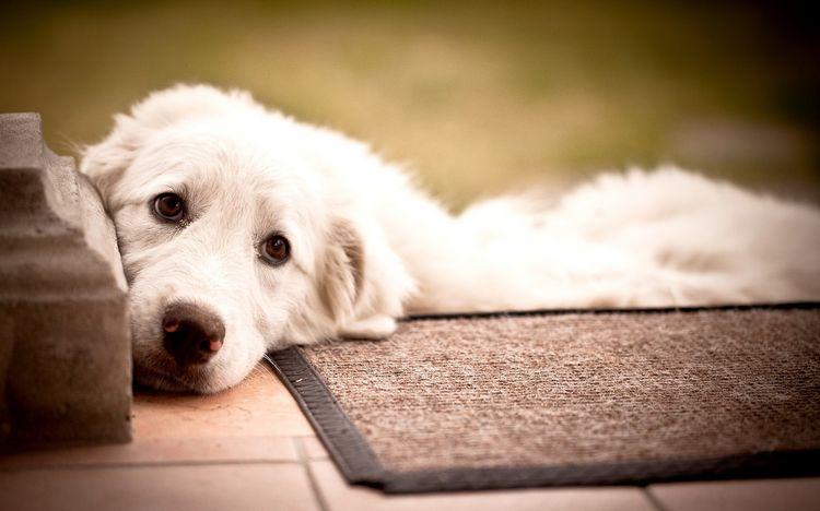 Собака лежит на коврике