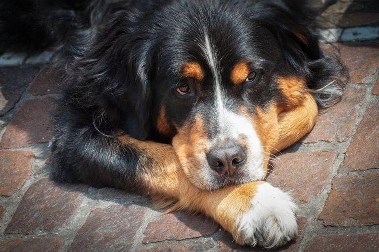 Большая собака лежит