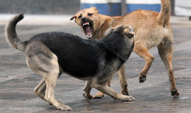 Драка бродячих собак