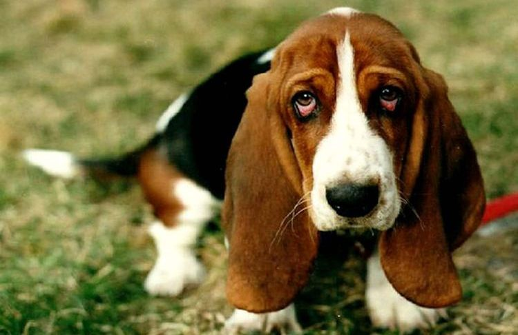 Почему у собаки могут быть красные белки глаз
