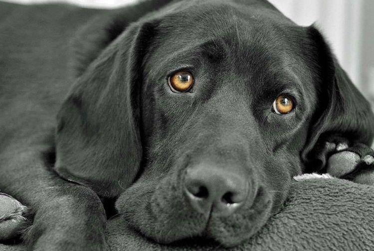 Грустная черная собака