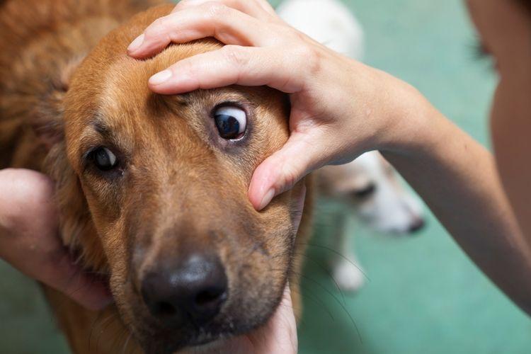 Осмотр глаза собаке