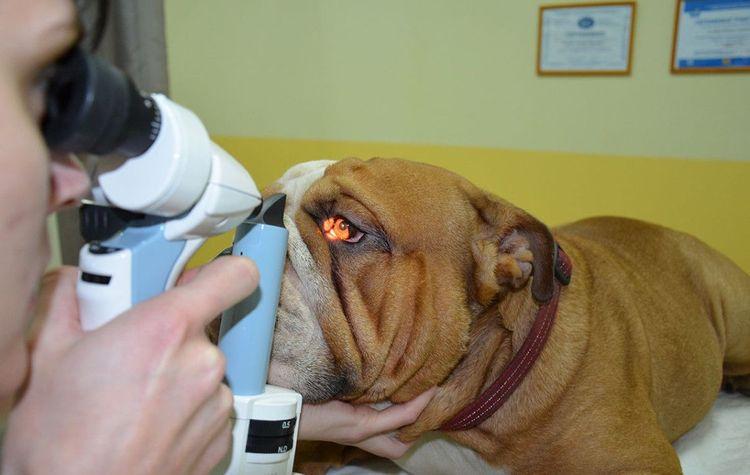Осмотр глаза собаки у ветеринара