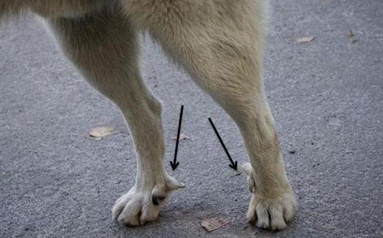 Прибылые пальцы собаки