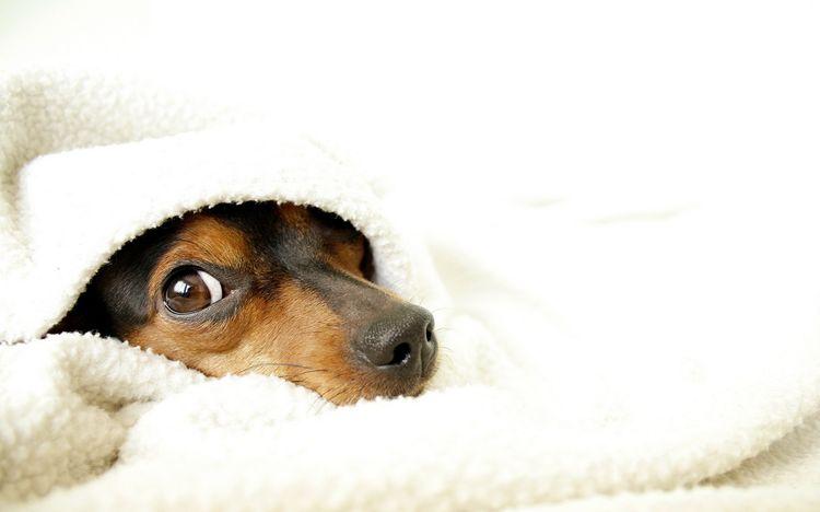 Щенок спрятался под одеяло