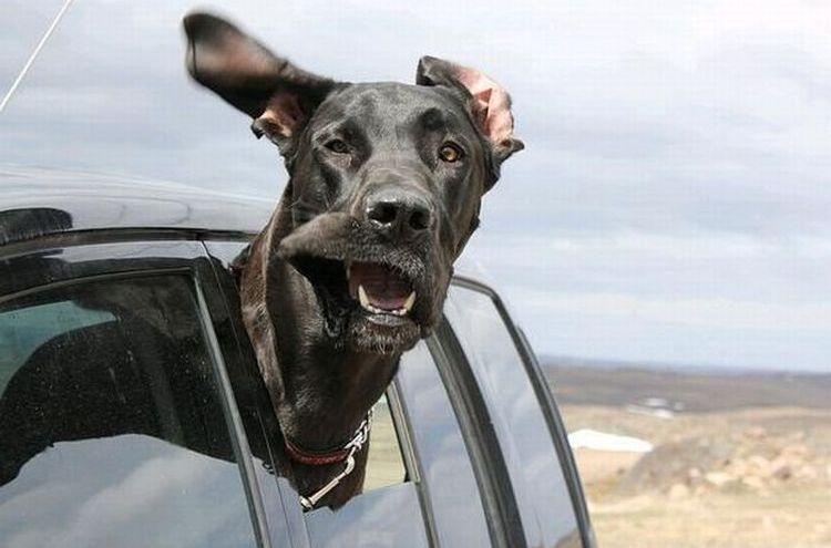 Собака выглядывает из окна машины
