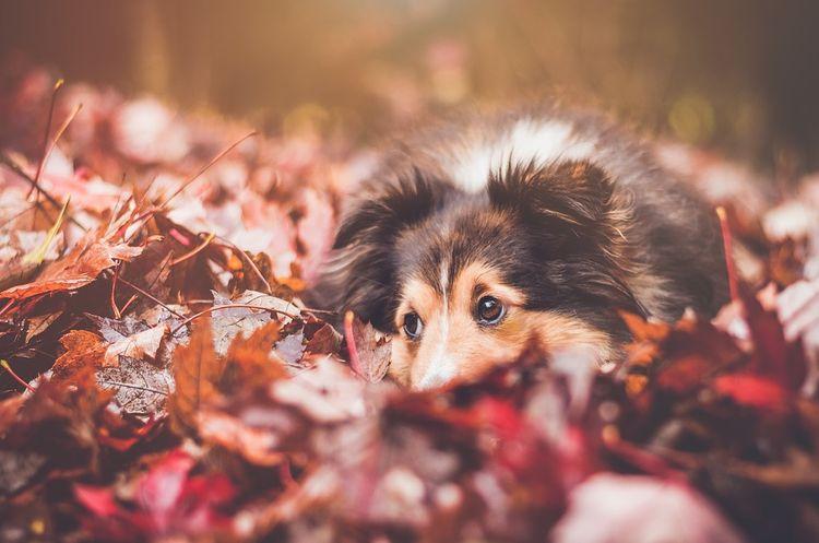 Собака в листьях