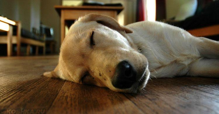 Собака без сознания