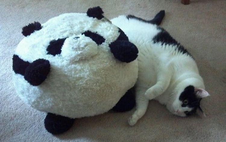 Толстый черно-белый кот