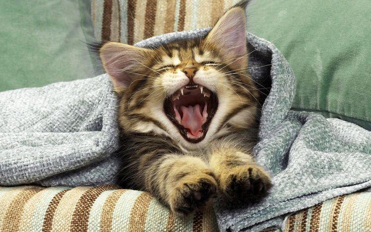 Котенок зевает