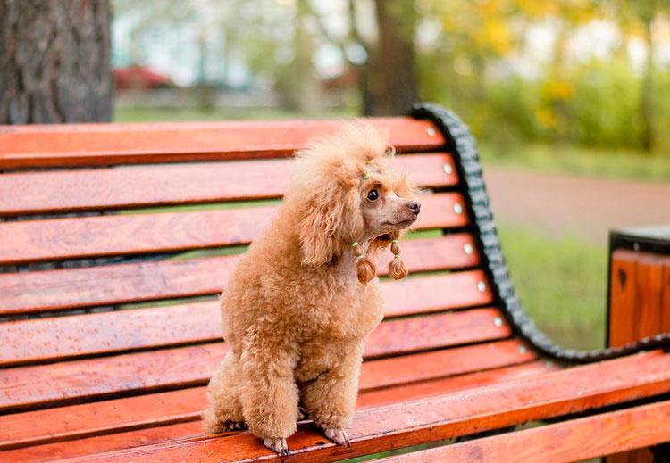 Той пудель на скамье