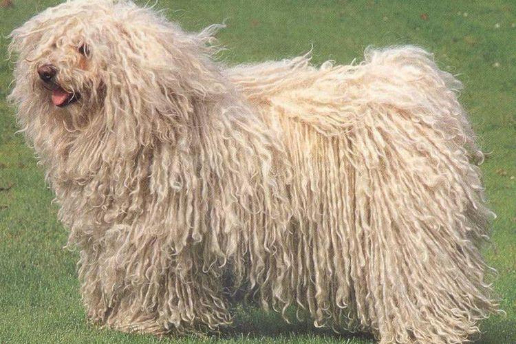 Пули (венгерская овчарка)