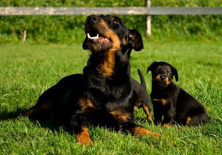 Немецкий ягдтерьер со щенком