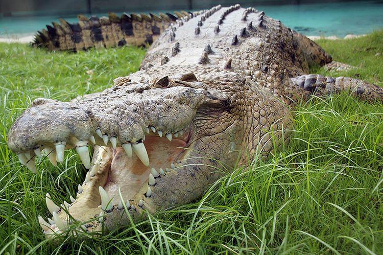 Морской (гребнистый) крокодил