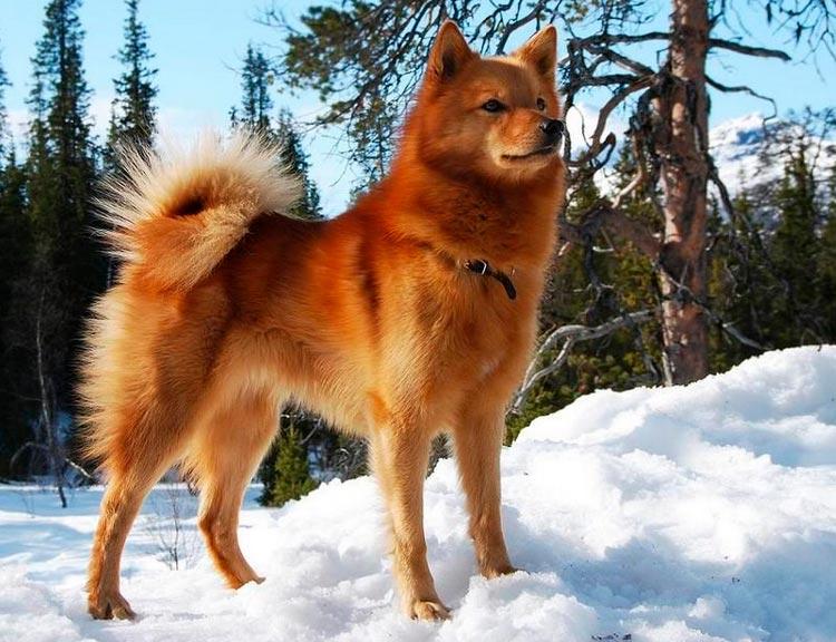 Аксессуары для собак породы шпиц