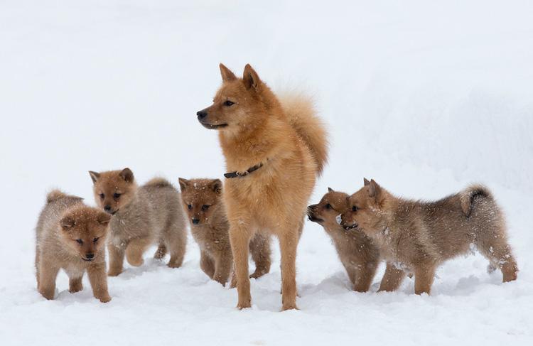 Карело-финская лайка со щенками