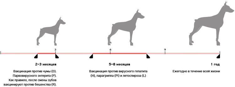 График вакцинации щенков
