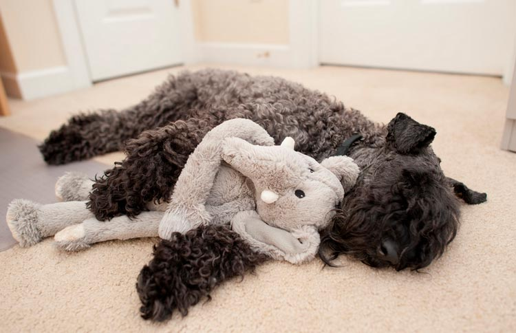 керри-блю-терьер спит с игрушкой