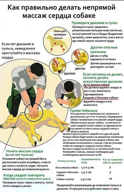 Как сделатиь собаке непрямой массаж сердца