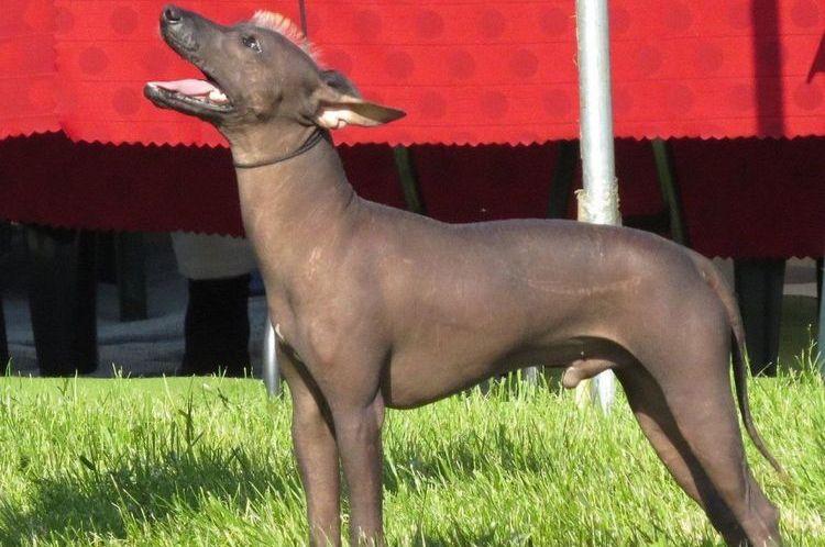 Перуанская голая (лысая собака моче)