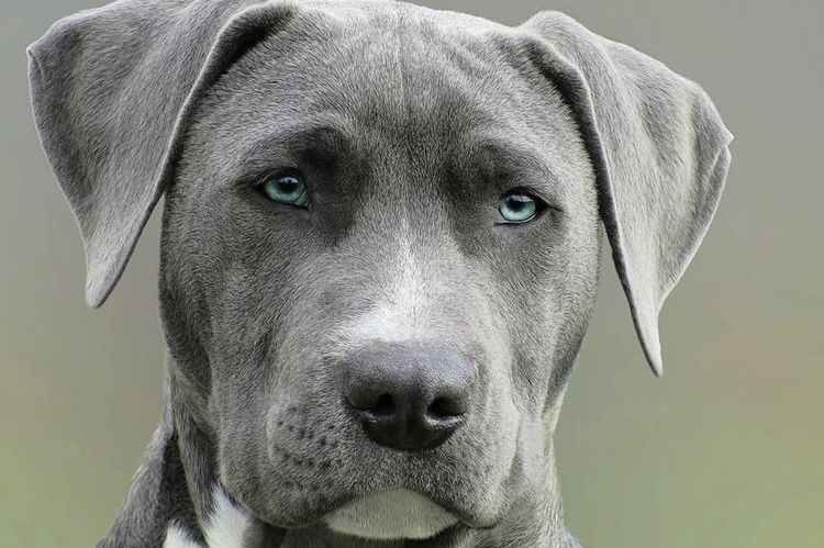 Собака с голубыми глазами