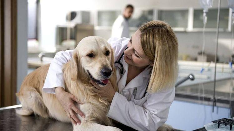 Лабрадор у ветеринара