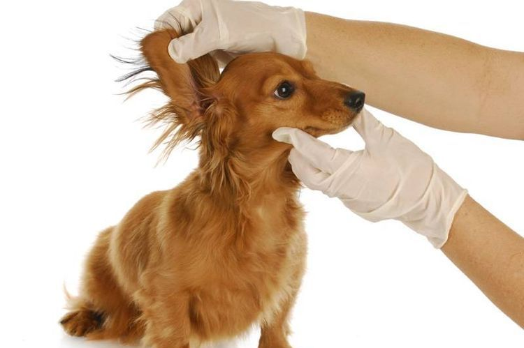 Осмотр ушей собаки доктором