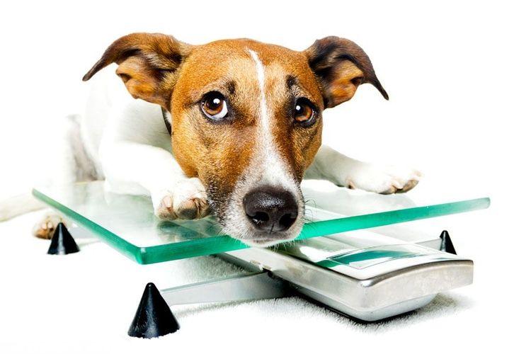 Собака и весы