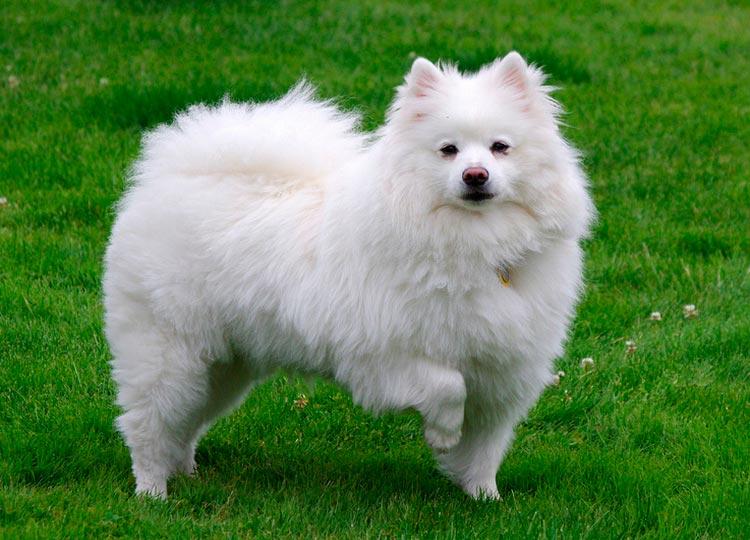 Собака породы Американский шпиц