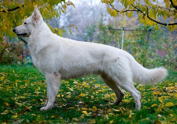порода Белая швейцарская овчарка