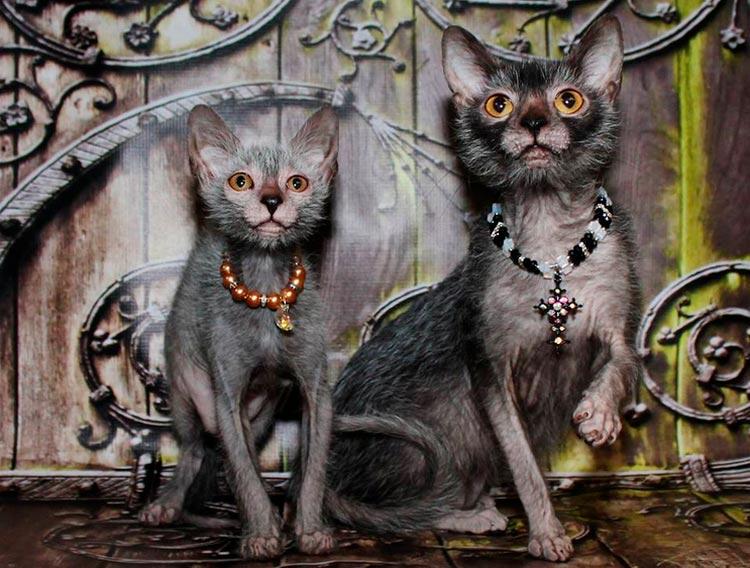 Кошка и кот ликой