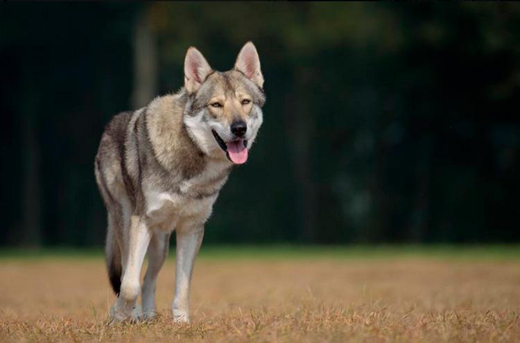 волчья собака Сарлоса характер