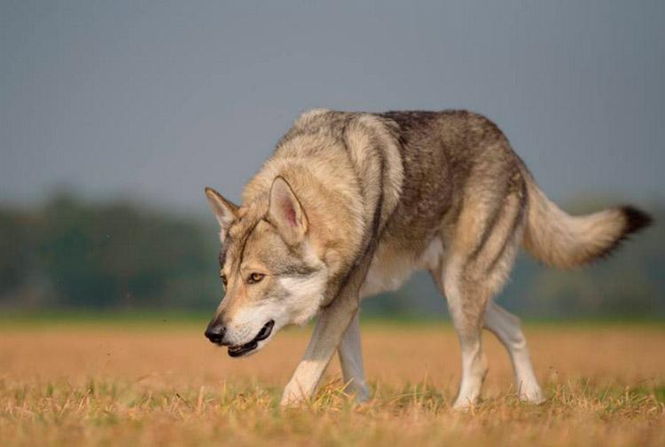 как выглядит волчья собака Сарлоса