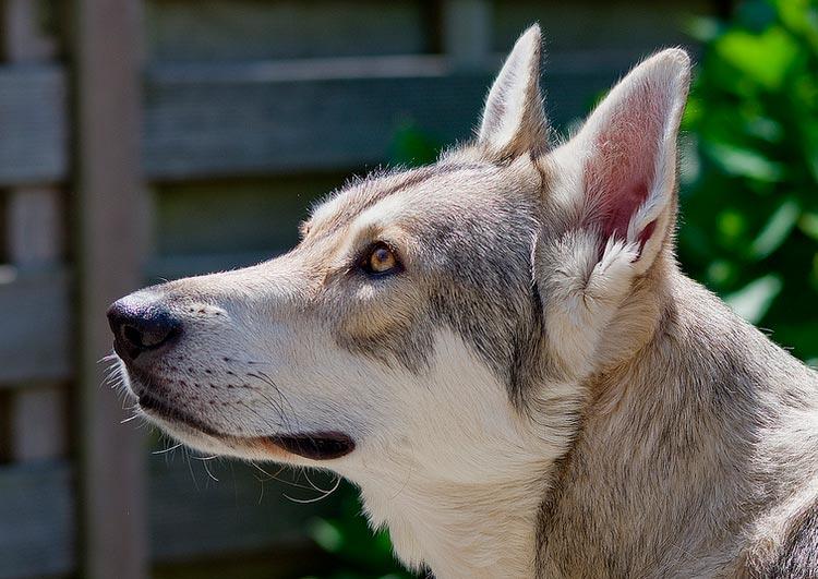 порода волчья собака Сарлоса
