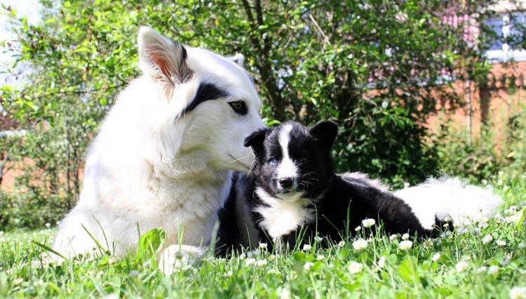 якутская лайка со щенком