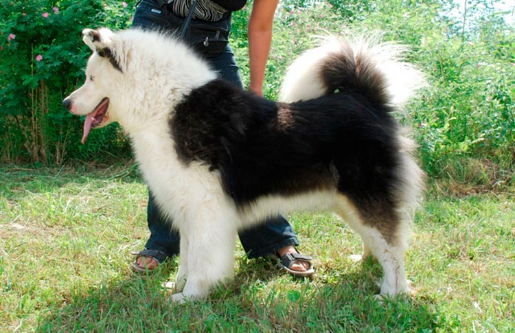собака породы якутская лайка