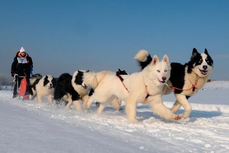 порода собак якутская лайка