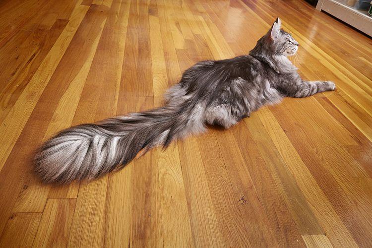Кот с самым длинным хвостом