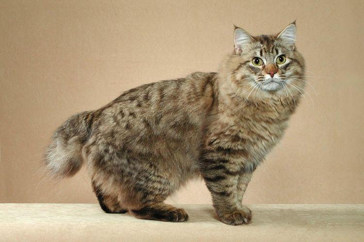 Кот породы бобтейл