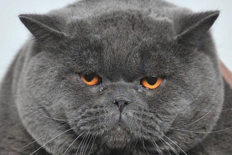 Крупный британский кот