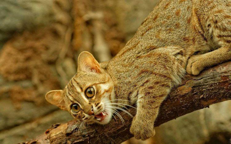 Самая маленькая дикая кошка рычит