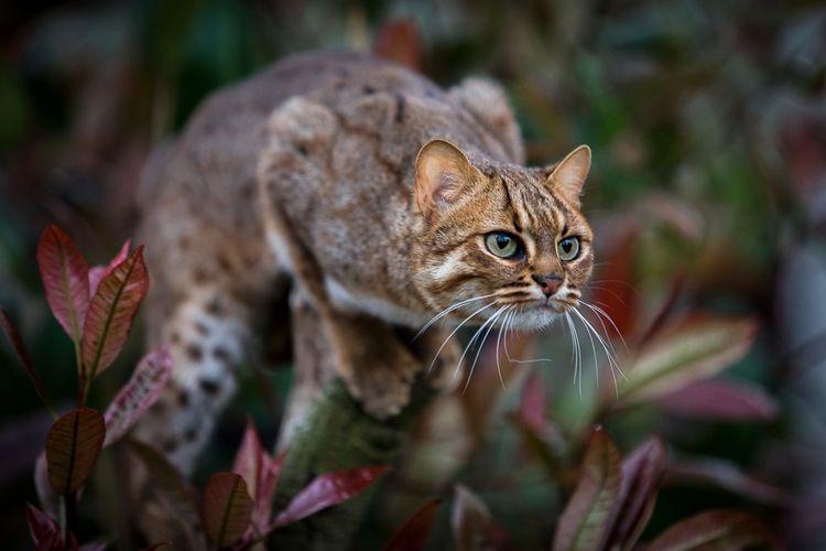 Самая маленькая в мире дикая кошка на ветке