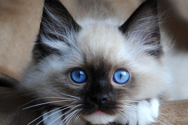 Котенок регдолл