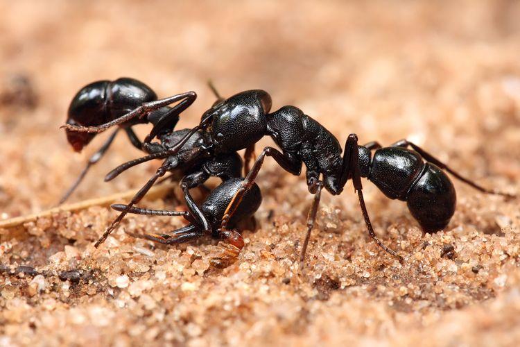 Ядовитый муравей